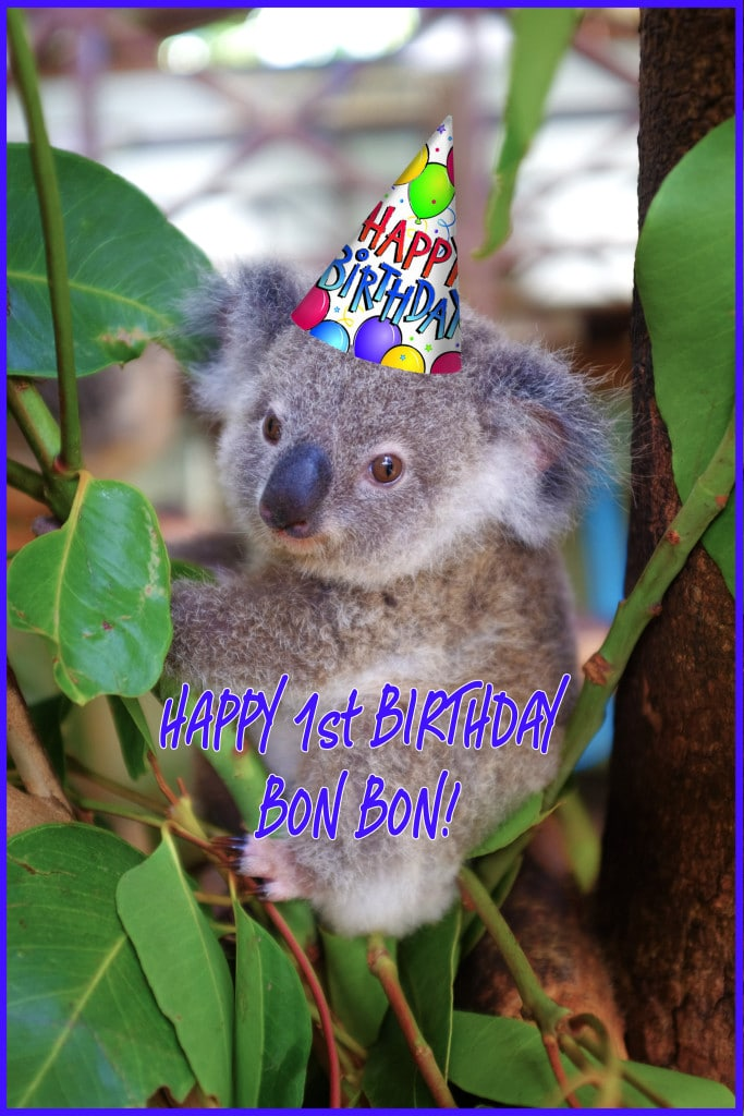 Happy Birthday Bon Bon The Koala Rainforestation Nature
