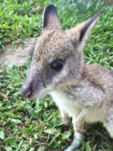 precious the wallaby joey