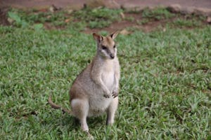 agile wallabies