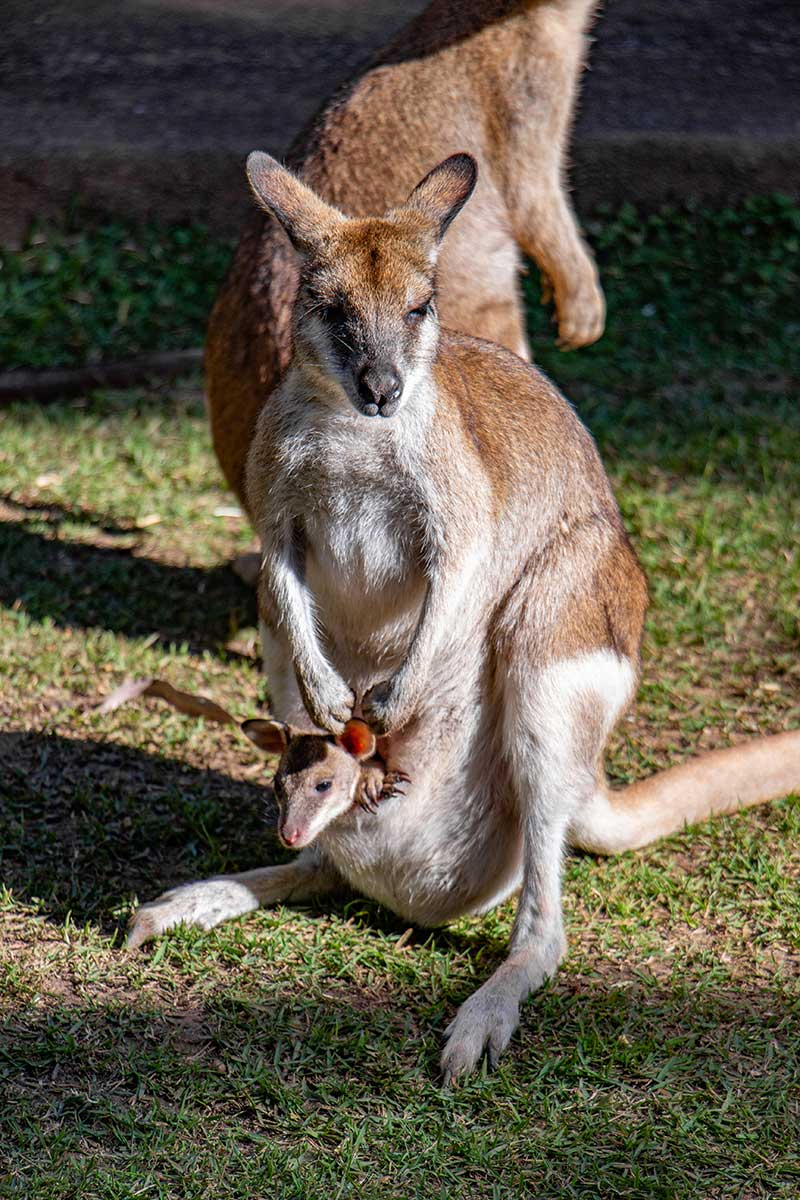 Agile Wallaby And Joey Rainforestation Nature Park Koala