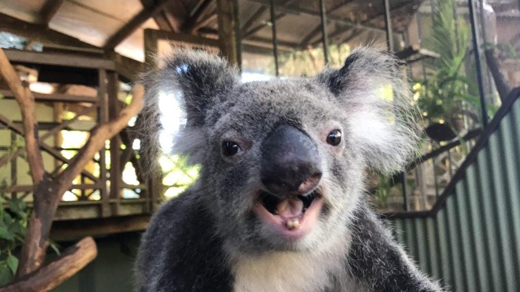 Kiah the Koala
