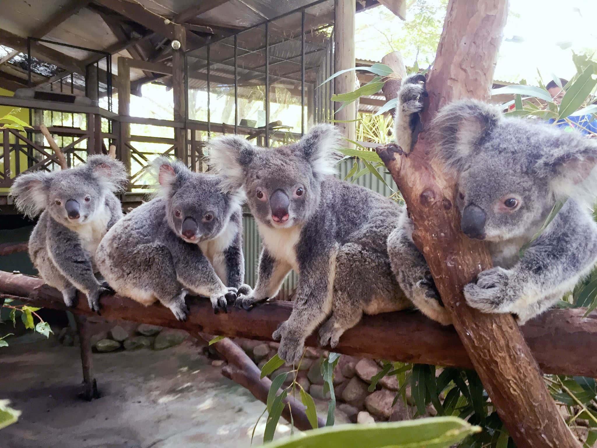 kuranda wildlife park koalas