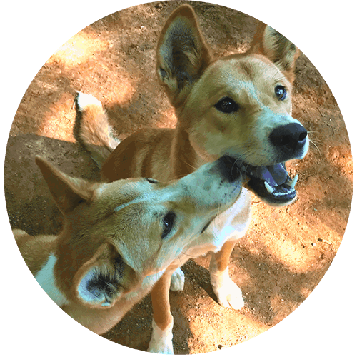 ned and kelly dingoes rainforestation kurands cairns