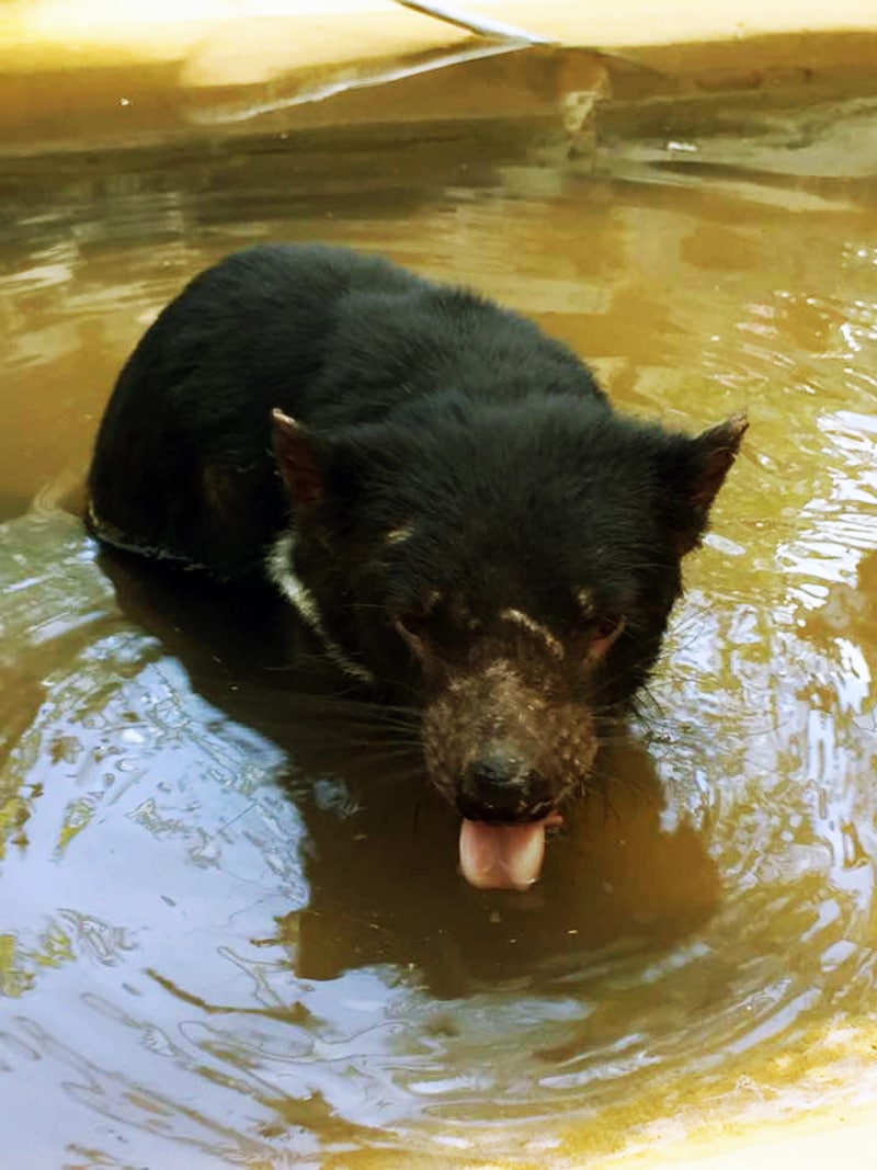 10 facts about tasmanian devils rainforestation nature park