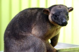 jimmy lumholtz tree kangaroo rainforestation koala and wildlife park