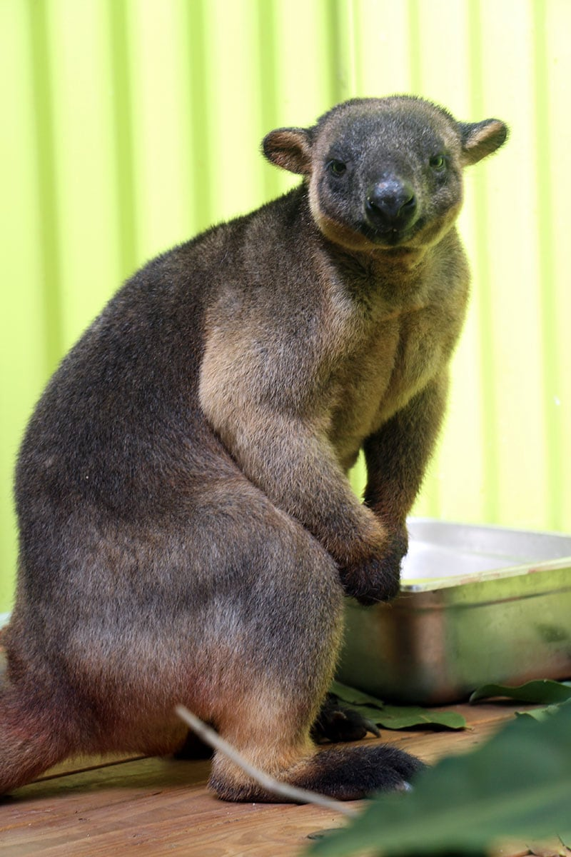 jimmy the lumholtz tree kangaroo rainforestation kuranda cairns