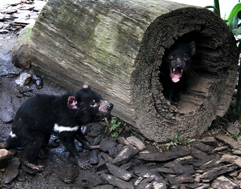 tasmanian devils at rainforestation kuranda