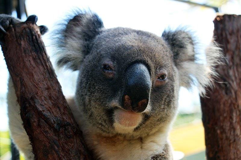 male koala at rainforestation kuranda