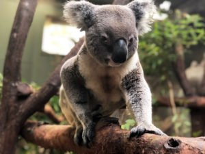 rainforestation breeding koala sunny male koala