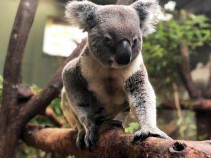 rainforestation breeding koala sunny male koala