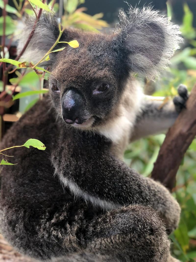 koala at rainforestation kuranda