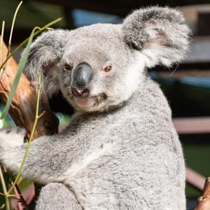 cairns rescue koala rainforestation nature park