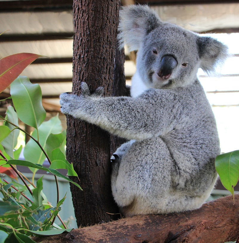 rescue koala kandy at rainforestation