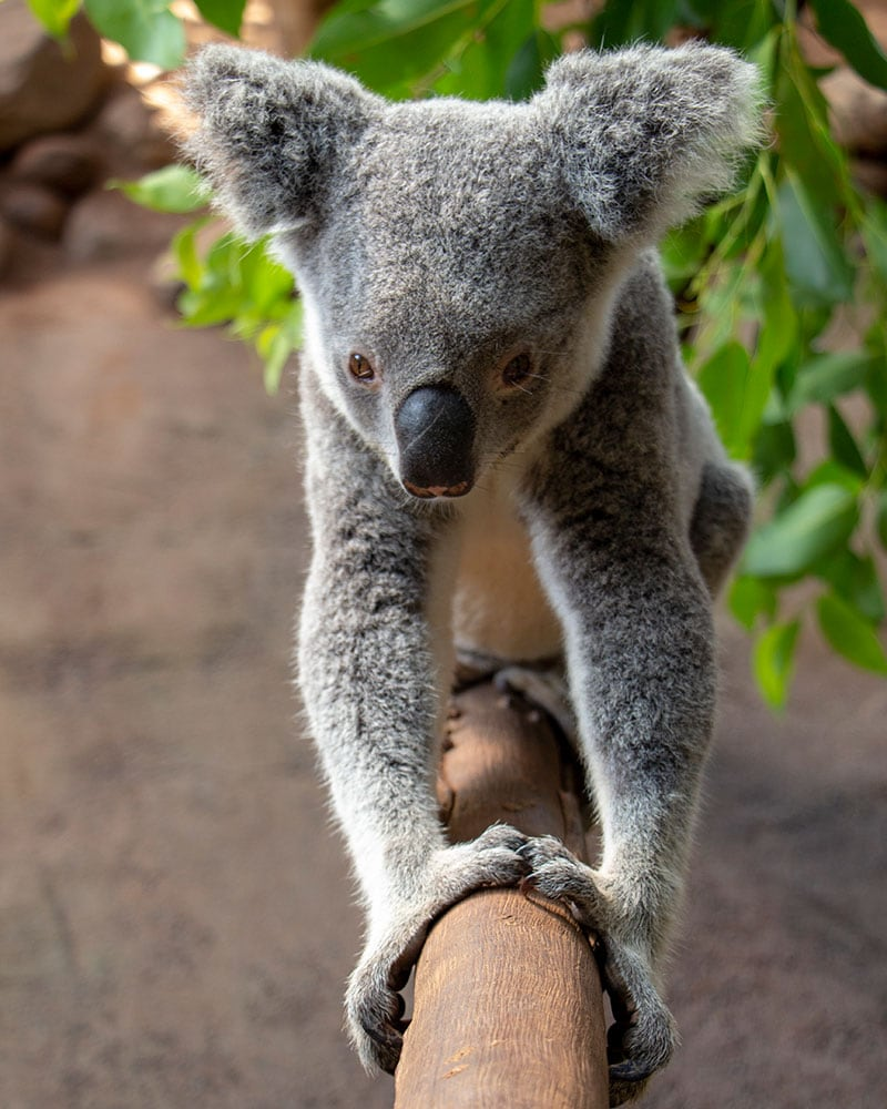 rescue koala willow at rainforestation nature park
