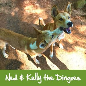 dingoes at rainforestation nature park