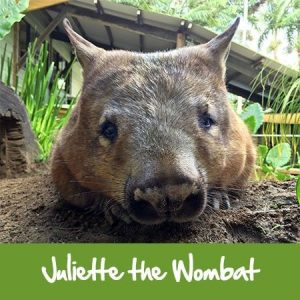 juliette the wombat rainforestation nature park