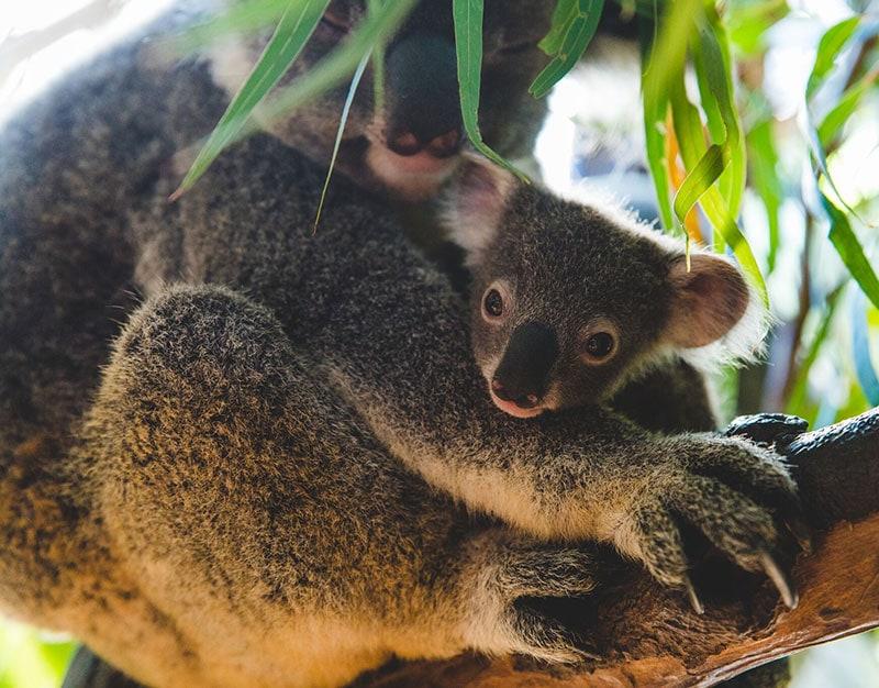 baby koala and mum rainforestation nature park kuranda