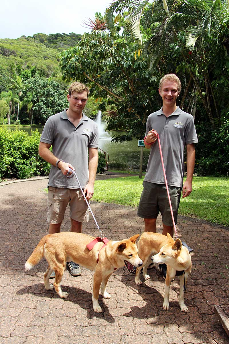 wildlife volunteer program cairns rainforestation nature park
