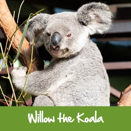 willow the koala rainforestation