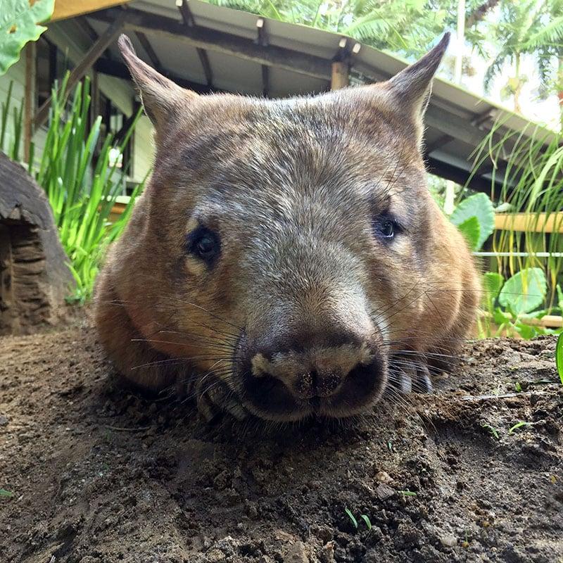 Rainforestation Kuranda Cairns Southern Hairy Nosed Wombat