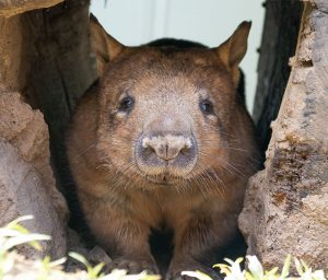 Wombat Rainforestation Nature Park Kuranda