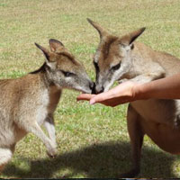 Hand Feeding Wallabies Rainforestation