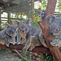 Koalas Rainforestation Nature Park Kuranda