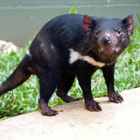 Tasmanian Devil Rainforestation Kuranda