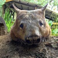 Wombat Rainforestation Kuranda