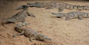 Freshwater Crocodile Facts