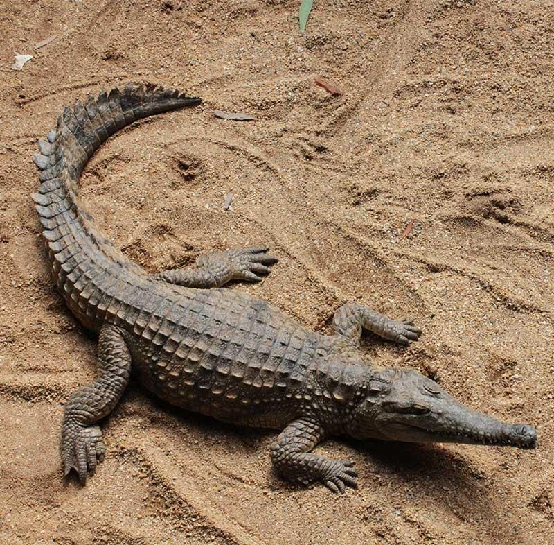 Freshwater Crocodile Rainforestation Nature Park Kuranda