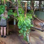 Volunteer In Koala Enclosure Rainforestation