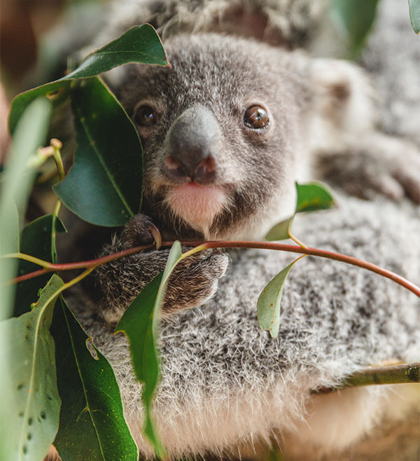 Cairns Koala Experience Baby Koala Rainforestation